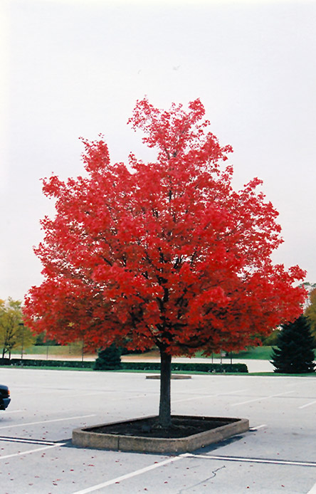 October Glory Red Maple Acer Rubrum 39 October Glory 39 In Denver Arvada Aurora Centennial