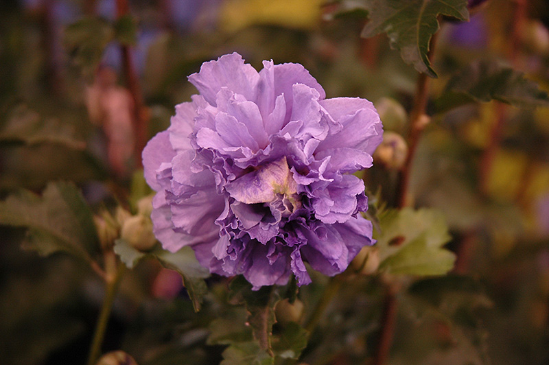Blueberry Smoothie Rose Of Sharon Hibiscus Syriacus